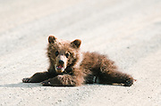 Grizzly bear cub on Highway Pass park road.