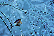 Eastern Bluebird on ice covered branch after ice storm - Mississippi.