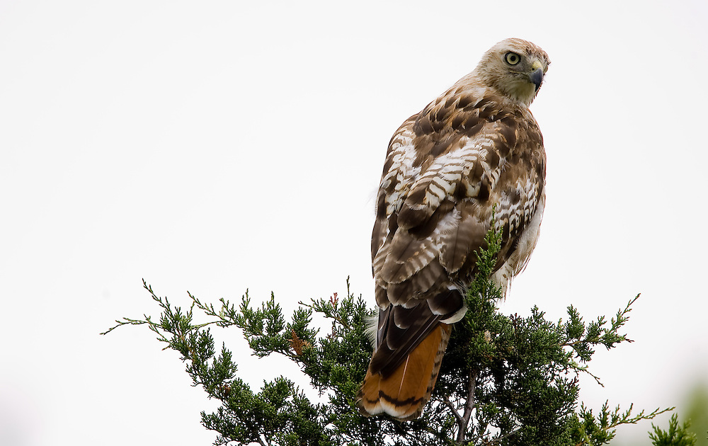 """A Red-tailed Hawk (Buteo jamaicensis) sits atop a tree at Sandy Hook Nation Park in Highlands New Jersey.  The hawk is a medium-sized bird of prey, one of three species colloquially known in the United States as the """"chickenhawk."""""""