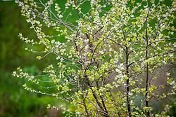 Young foliage of Populus alba 'Richardii'. White poplar