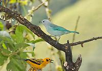 Blue-gray tanager, Thraupis episcopus quaesita, and golden tanager, Tangara arthus goodsoni. Tandayapa Valley, Ecuador