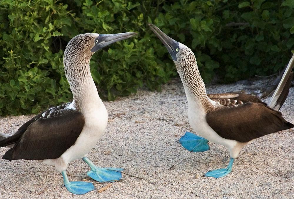 Blue-footed boobies, mating ritual, Galapagos Islands