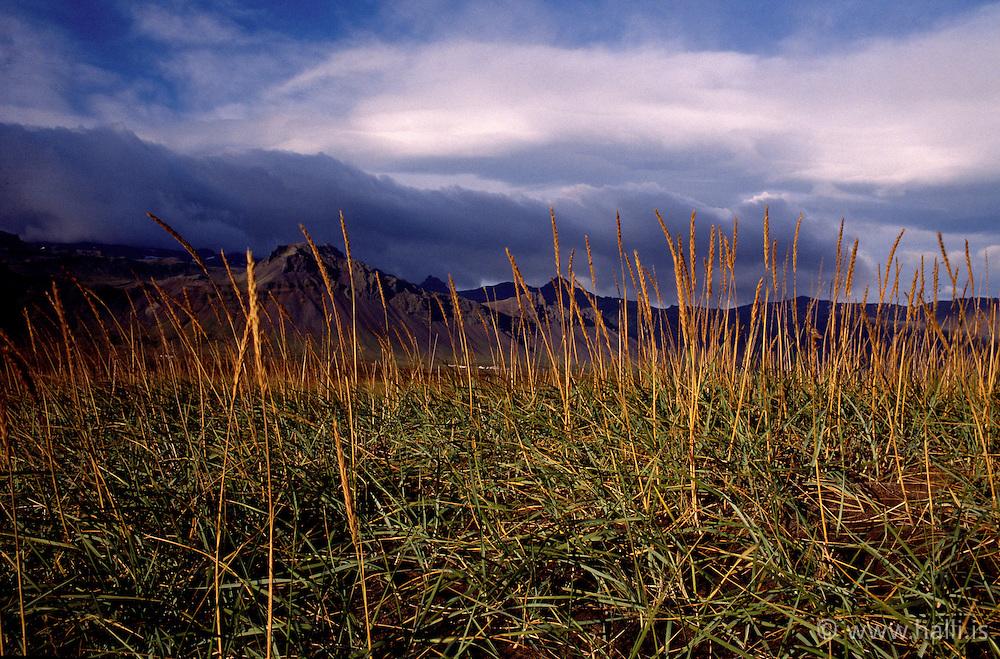 Strá í fjöruborði skammt við Búðir á Snæfellsnesi / Grass at the coastline near Budir at Snaefellsnes