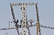 Rock Dove Feral Pigeon - Columba livia