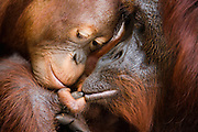 A touching moment as an infant orangutan touches his mother's lip with his small finger (Pongo pygmaeus) and she wraps her big finger around his, Borneo, Indonesia