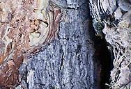 Photo Randy Vanderveen.Grande Prairie, Alberta.Mountain Pine Beetle inside an infected tree.