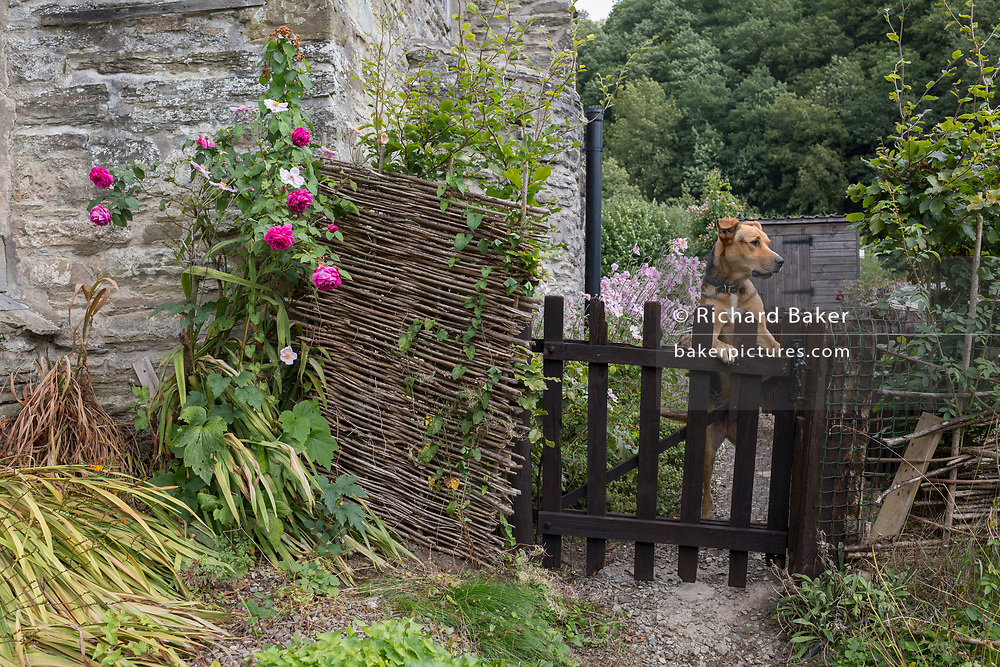 A New Zealand Sheepdog stands on its hind legs at the gate outside an old English cottage, on 10th September 2018, near Lingen, Herefordshire, England UK.