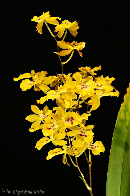 """Oncidium orchid grown by the photographer, 17 inches tall, with one multibranched flower spike supporting 23 individual blossoms.<br /> <br /> Oncidium is a genus that contains over 330 species of orchids.  It is an extraordinarily large and diverse group from varied habitats. Most species in the Oncidium genus are epiphytes (grow on other plants), although some are lithophytes (grow on rocks) or terrestrials (grow in the ground). They are widespread from northern Mexico, the Caribbean, and some parts of South Florida to South America, usually occurring in seasonally dry areas.  This genus was first described by Olof Swartz in 1800, a Swedish botanist and taxonomist and the first specialist of orchid taxonomy.  The name is derived from the Greek word """"onkos"""", meaning """"swelling"""" due to the callus at the flower's lower lip."""