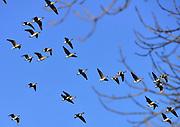Nederland, Ubbergen, 2-2-2014Wilde grauwe ganzen vliegen over de Ooijpolder. Elk jaar overwinteren tienduizenden ganzen in de Gelderse Poort en de uiterwaarden langs de rivier de Waal. Foto: Flip Franssen/Hollandse Hoogte