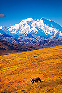 Grizzly Bear stroll on fall color tundra hill with view of Mount Denali (McKinley). Denali National Park & Preserve, Interior Alaska, Autumn. Vertical image.