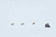 Coyote (Canis latrans) pack walking by bison in Wyoming