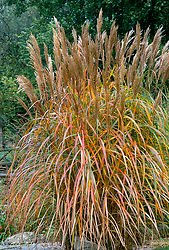 Miscanthus sinensis 'Malepartus' at Upper Mill Cottage, Kent