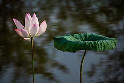 Lotus, nelumbo, pink #7