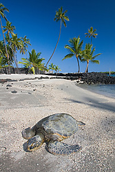 Green Sea Turtle, Chelonia mydas, basking in the sun on beach at Keoneele or Keone`ele Cove, the Great Wall bult in the mid-1500s, and Coconut Palms, Cocos nucifera, in background, Puuhonua or Pu`uhonua o Honaunau or Place of Refuge National Historical Park, Honaunau, Big Island, Hawaii