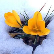 Winter Chill_Hidden Crocus