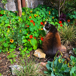 Lewis the cat sits in the back yard of his Oakland, Calif. home, Monday, March 30, 2020. (Photo by D. Ross Cameron)