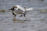 Relict or Central Asian Gull, Larus or Ichthyaetus relictus, besides and in the water Inner Mongolia, China