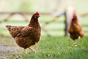 Free-range hen, Chedworth, Gloucestershire, United Kingdom