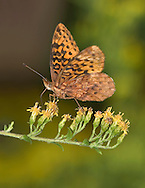 Butterfly, Boloria bellona, Meadow Fritillary, On Goldenrod