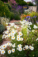 White daisy flowers in a small seaside garden on the Sussex coast during summer in England, UK.