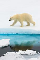 Polar Bear (Ursus maritimus) walking on ice in Spitsbergen, Svalbard