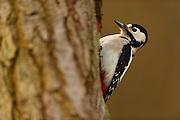 Great Spotted Woodpecker (Dendrocopos major), The Biosphere Reserve 'Niedersächsische Elbtalaue' (Lower Saxonian Elbe Valley), Germany | Buntspecht (Dendrocopos major) Niedersächsische Elbtalaue, Deutschland