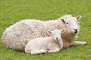 Sheep ewe and lamb in Exmoor National Park, Somerset, United Kingdom