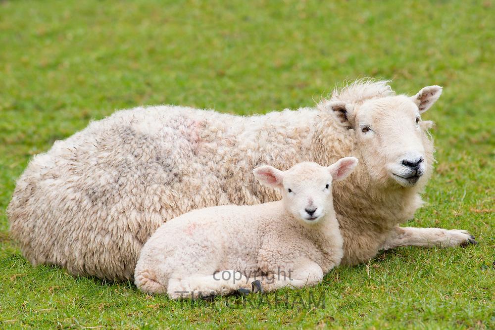 Sheep ewe and lamb in Exmoor National Park, Somerset, United Kingdom