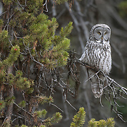 Great gray owl (Strix nebulosa) hunting near the south entrance of Yellowstone National Park in Wyoming during the fall season.