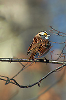 White-throated Sparrow trying to keep warm. Nikon D3s and 70-200 mm VRII with TC-E 20 teleconverter (ISO 200, 400 mm f/8, 1/640 sec)