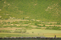 Bringing the flock of sheep home in the evening. Lake Prespa National Park, Albania June 2009