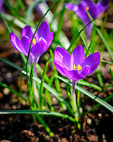 Purple Crocus. Image taken with a Fuji X-H1 camera and 200 mm f/2 OIS lens and 1.4 x teleconverter.