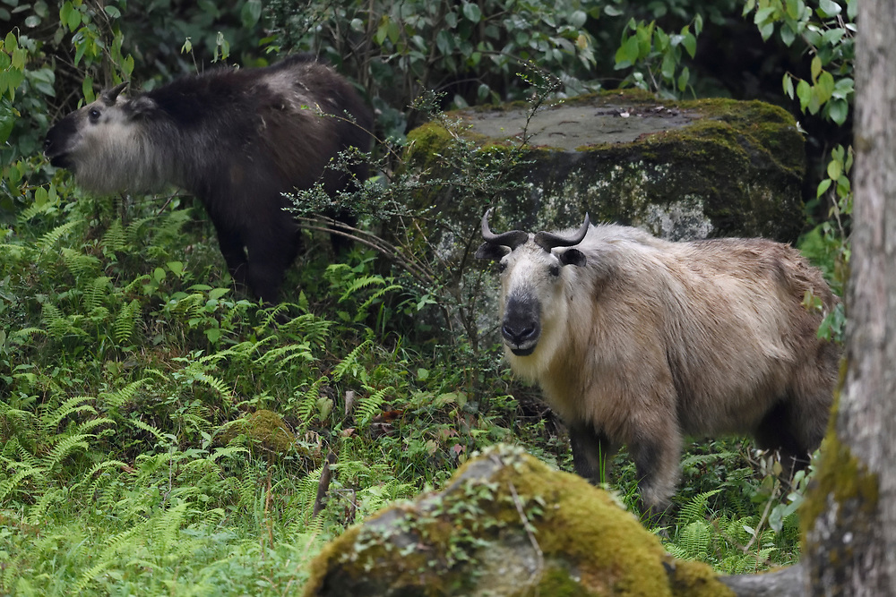 Adult Golden Takin and young one, Budorcas taxicolor, photographed standing in a forest in Tangjiahe National Nature Reserve, NNR, Qingchuan County, Sichuan province, China