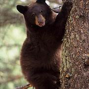 Black Bear, (Ursus americanus) Montana. In tree. Fall.
