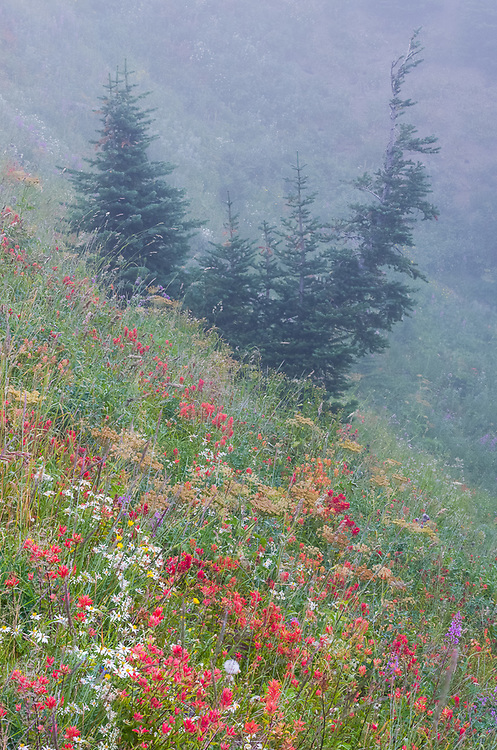 Wildflowers and fir trees, evening fog, August, Hurricane Ridge road corridor, Olympic National Park, Clallam County, Olympic Peninsula, Washington, USA