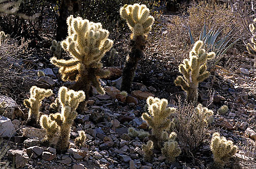 Arizona, Botony, Teddybear Cholla cactus, (Opuntia bigelovii) Arizona.