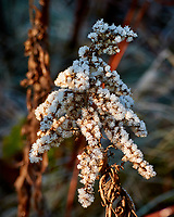 Frost covered brush. Late autumn monthly Sunday walk in the park. Hobler Park, Montgomery Township, New Jersey. Image taken with a Nikon 1 V3 camera and 70-300 mm VR lens.