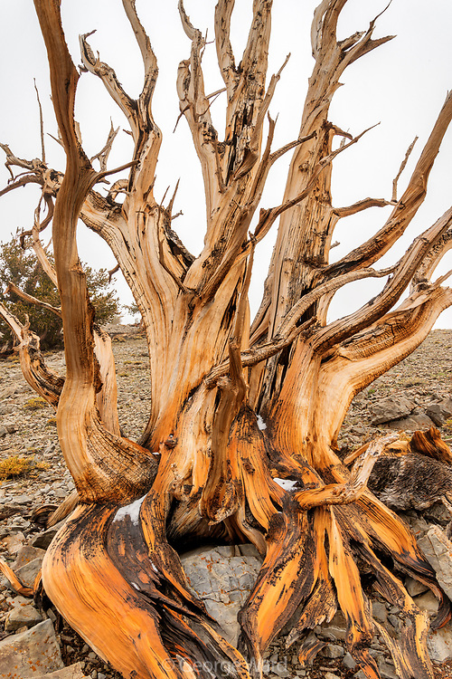 Ancient Bristlecone Pine and Cloud after Rain, White Mountains, Inyo National Forest, California