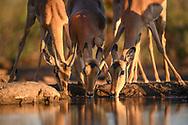 Eine Herde Impalas (Aepyceros melampus) beim Trinken an einem Wasserloch im Abendlicht, Tuli Block, Botswana