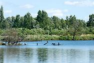 Great cormorants (Phalacrocorax carbo), Réserve naturelle nationale Les étangs du Romelaëre. Audomarois, Saint-Omer, France © Rudolf Abraham