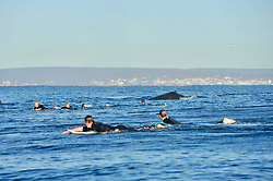 """Sports photographer and surfer, Brad Whittaker, has captured the beautiful sight of surfers and group of Humpback whales sharing the waters together at a reef break in Cronulla, Sydney on Sunday morning. Brad was in a Seadoo watercraft when the whales started to approach the surfers and swam up to them very close.<br /> <br /> """"It is not uncommon to see a variety of marine life in this area and especially whales at this time of year, however, they don't always come this close to surf zone"""" said Brad.<br /> <br /> Though some of the surfers were a little shocked at first, they were also very excited by the close encounter. One surfer even slid off his board and swam underwater in an attempt to watch the whales swim past. <br /> <br /> """"They were very calm, the is part of their annual migration and they were in no distress at all. Just cruising up the coast"""" said Brad.<br /> <br /> One of the surfers amongst the crowd, Harry Engle, said: """"You don't realise how big they really are until you are up close to them. It was quite distracting as we were out there trying to catch waves but watching the whales swim past was far more interesting""""."""