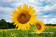 63801-11019 Sunflowers in field Jasper Co.  IL