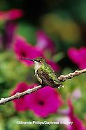 01162-070.09 (MW) Ruby-throated Hummingbird (Archilochus colubris) female perched near flower garden  Shelby Co.  IL