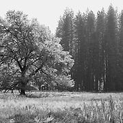 Lone Oak Tree - Yosemite Valley Meadow - Yosemite - Black & White