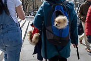 A Pomeranian toy dog is carried in its owner's day-pack and next to a furry coat hood while walking through a London street, on 8th April 2021, in London, England.