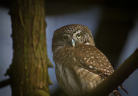 Northern Pygmy Owl, brown