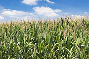 green corn crop in a field near Forest Hill, Queensland, Australia <br /> <br /> Editions:- Open Edition Print / Stock Image