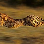 Cheetah (Acinonyx jubatus) running across the Serengeti Plains after prey. Kenya