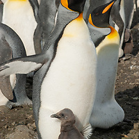 A King Penguin chick sticks by its parent amidst a huge rookery  at Salisbury Plain, South Georgia, Antarctica.
