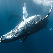 Male and female humpback whale (Megaptera novaeangliae) engaged in courtship. The female is the closer of the pair. As often seems to be the case during courtship, these humpback whales were extremely inquisitive, with the female being particularly interested in boats and people. Photographed in Vava'u, Kingdom of Tonga.